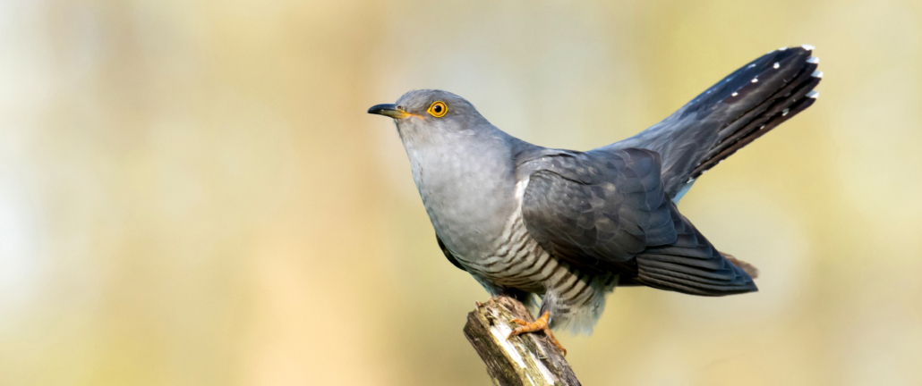 The First Cuckoo